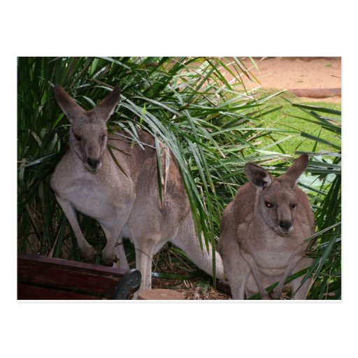 Australian Eastern Grey Kangaroo Postcards