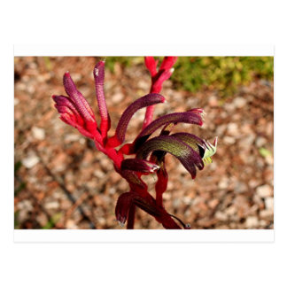 Australian Kangaroo Paw flower in bloom 2 Postcard