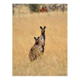 Australian Kangaroos Post card