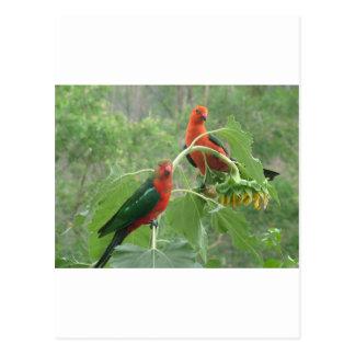 Australian King Parrots Postcard