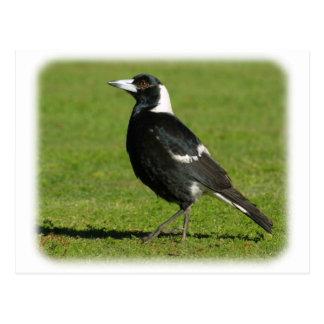 Australian Magpie 9P018D-039 Postcards
