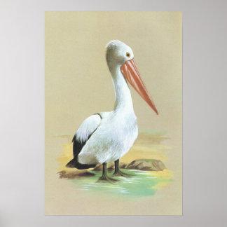 Australian Pelican  - Pelecanus conspicillatus Poster