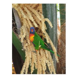 Australian Rainbow Lorikeet postcard 2