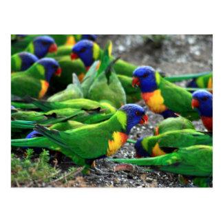Australian Rainbow Lorikeets Postcard