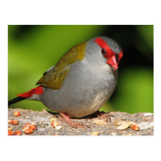 Australian Red-Browed Firetail Finch Postcard