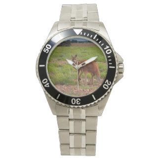 Australian red kangaroo watch