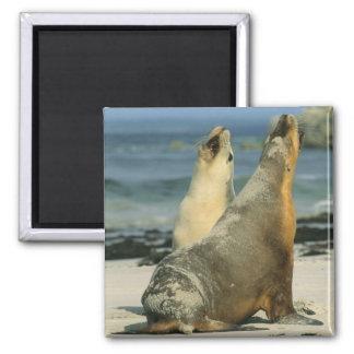 Australian Sea Lions, Neophoca cinerea), 2 Square Magnet