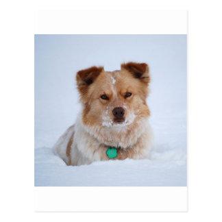 Australian Shepard/Heeler Dog in Snow Postcard