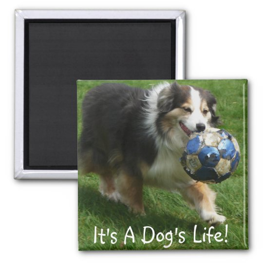 Australian Shepherd has a Ball! Magnet