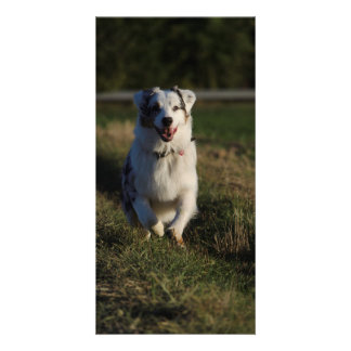 Australian Shepherd Photo Greeting Card
