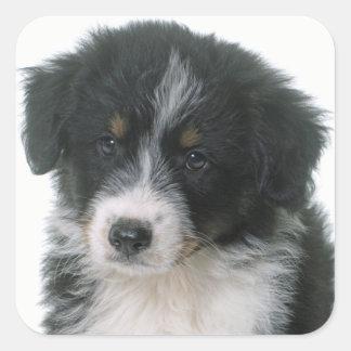Australian Shepherd Puppy Dog Love Aussie Square Sticker