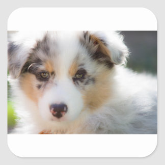 Australian shepherd puppy square sticker