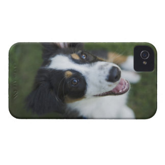 Australian Shepherd standing on hind legs Case-Mate iPhone 4 Cases