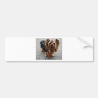 Australian Silky Terrier Puppy Dog Bumper Sticker
