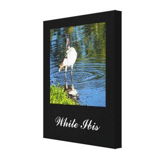 Australian White Ibis canvas print