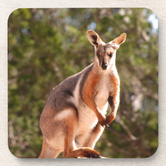 Australian yellow-footed rock wallaby beverage coasters