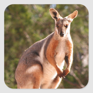 Australian yellow-footed rock wallaby square sticker