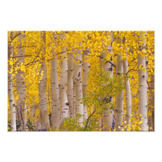 Autumn aspens in Kebler Pass in Colorado. Photograph