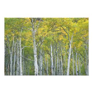 Autumn aspens in McClure pass in Colorado. Photo