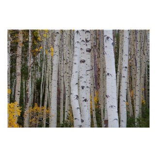Autumn in the Aspen's Poster