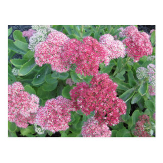 Autumn Joy Sedum Flowering Garden Plant Pink Green Postcard
