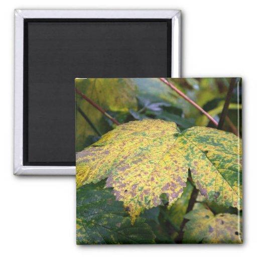Autumn leaf magnets