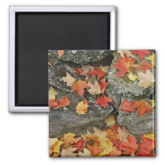 Autumn leaves on stone wall, Minute Man Square Magnet