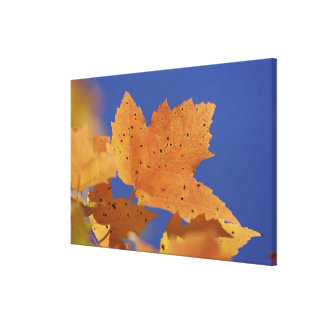 Autumn maple leaf and blue sky, White Gallery Wrap Canvas
