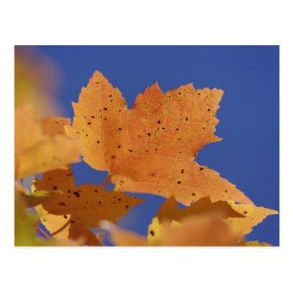 Autumn maple leaf and blue sky, White Post Cards