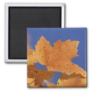 Autumn maple leaf and blue sky, White Square Magnet