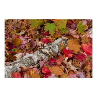 Autumn Maple Leaves Cover Birch Bark On Forest Poster