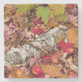 Autumn Maple Leaves Cover Birch Bark On Forest Stone Coaster