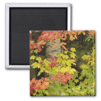Autumn maple trees and birch tree, White Square Magnet