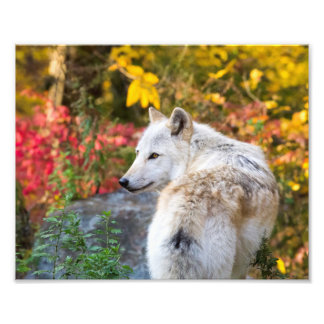 Autumn Wolf Photo Print