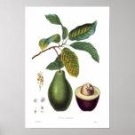 Avocado (Persea americana) Print