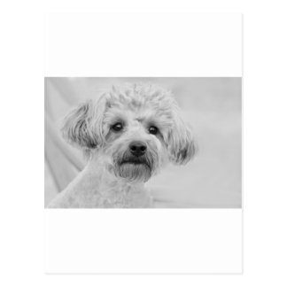 Awesome  Yorkie Poo in Sepia Tones Postcard