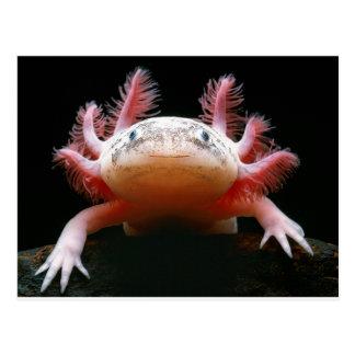 Axolotl Axolotl.png Postcard