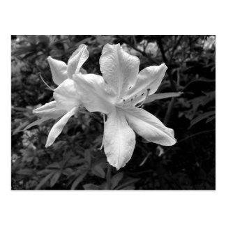 Azaleas / Rhododendrons in B&W Postcard