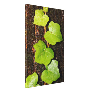 Azores endemic hedera canvas print