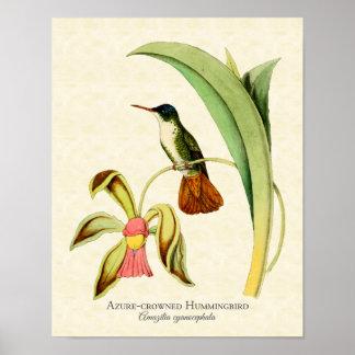 Azure Crowned Hummingbird Art Print