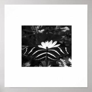 B W Zebra Butterfly on White Poster