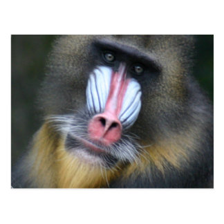 Baboon Face Postcard