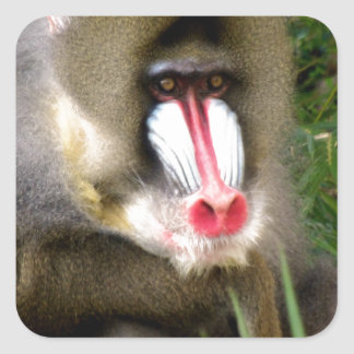 BABOON SQUARE STICKER