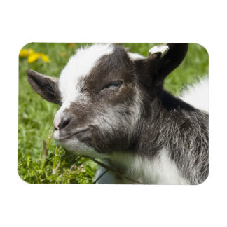 Baby Bagot Goat Photograph Rectangular Photo Magnet