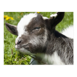 Baby Bagot Goat | Rare Breed Postcard