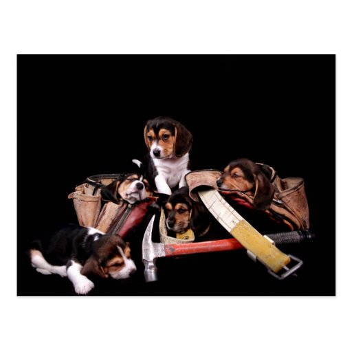 Baby beagle puppies in construction workbelt cute! post cards