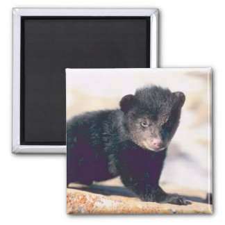 Baby Black Bear Square Magnet