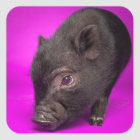 Baby Black Pig Square Sticker