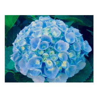 Baby blue hydrangea bloom postcard
