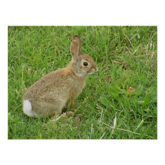 Baby Bunny On Lawn Poster